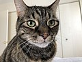 2020-04-24 14 09 48 A tabby cat sitting on a bed in the Franklin Farm section of Oak Hill, Fairfax County, Virginia.jpg