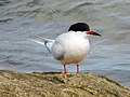 2020-07-18 Sterna dougallii, St Marys Island, Northumberland 08.jpg