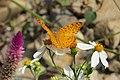 296紅擬豹斑蝶7(施力嘉攝) (30947091133).jpg