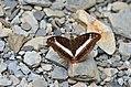 347紫單帶蛺蝶1(游釗敏攝) (19049557771).jpg