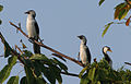 3 Little Pied Cormorants (Phalacrocorax melanoleucos) - Flickr - Lip Kee.jpg
