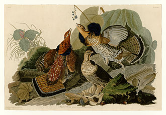 John James Audubon - Plate 41 of The Birds of America by Audubon, depicting ruffed grouse