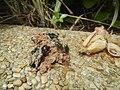 4300Ants of the Philippines Common houseflies 15.jpg