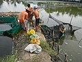 5798Isla Babatnin Malolos Bulacan Harvesting Fishes 24.jpg