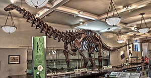 Brontosaurus - Skeleton of the AMNH apatosaurine (possibly B. excelsus, specimen AMNH 460) as remounted in 1995