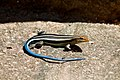 A Blue Tail Skink.jpg