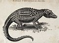 A Ceylon crocodile. Etching by Heath. Wellcome V0021209.jpg