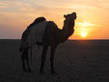 A Knackered Camel - Flickr - edbrambley.jpg