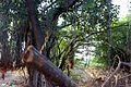 A Very Old Banyan Tree.jpg