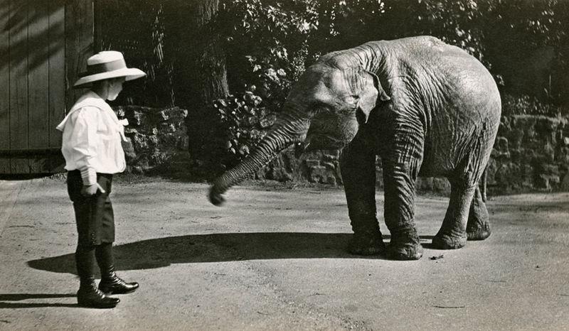 Bébé éléphant au zoo de Londres en 1915.