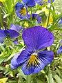 A bright violet Viola flower.jpg