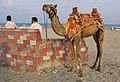 A camel on the beach in Puducherry, Tamil Nadu, India.jpg