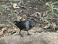 A crow.JPG