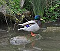 A duck on a rock - geograph.org.uk - 1296643.jpg