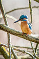 A kingfisher bird waiting for dinner.jpg