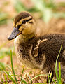 A mallard duckling.jpg