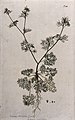 A plant (Sison ammi Jacq.) related to hedge sison; entire fl Wellcome V0042922.jpg