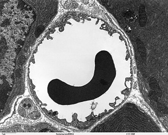 Microvessel - Transmission electron microscope image of a capillary with a red blood cell within the pancreas. The capillary lining consists of long, thin endothelial cells, connected by tight junctions.