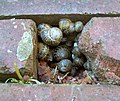 A walk of snails - geograph.org.uk - 801095.jpg