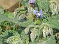 Abeilles sur un plant de bourrache dans la plaine des Maures.jpg