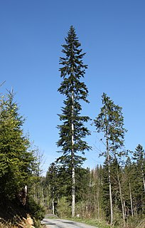<i>Abies alba</i> species of plant