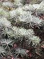 Abies concolor 'Compacta' Jodła jednobarwna 2009-07-20 02.jpg