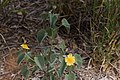 Abutilon austro-africanum -2123 - Flickr - Ragnhild & Neil Crawford.jpg