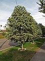 Acacia baileyana Los Angeles.jpg