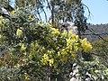Acacia dealbata (37540484220).jpg