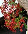 Acacia roja (Delonix regia) (14553225752).jpg