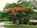 Acacia roja - Flamboyán (Delonix regia) (14255518286).jpg