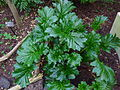 Acanthus mollis 'Oak Leaf'.jpg