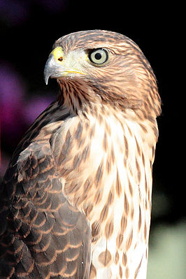 Accipiter cooperii (Coopers sperwer)