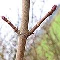 Acer platanoides 5 RF.jpg