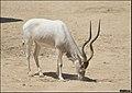 Addax-Jerusalem-Biblical-Zoo-IZE-481.jpg