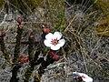 Adenandra villosa.JPG