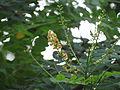 Adenanthera pavonina 01.JPG
