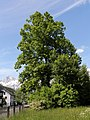 Admont - Naturdenkmal 911 - Winterlinde (Tilia cordata).jpg
