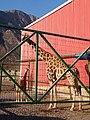 Adult giraffe with child giraffe.jpg