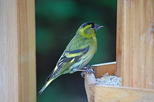 Eurasian siskin - Adult male at a bird table.