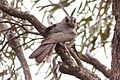 Aegotheles cristatus -South Australia, Australia-8.jpg