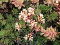 Aeonium castello-paivae - University of California Botanical Garden - DSC08925.JPG