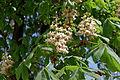 Aesculus (flower) IMG 6302 1725.jpg