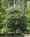 Aesculus × carnea.jpg