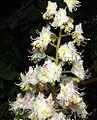 Aesculus hippocastanum10.jpg