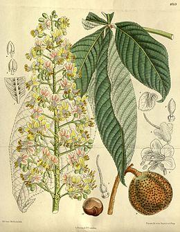 Aesculus turbinata 143-8713