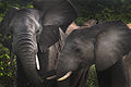 Africa Safari 002 (5248907172).jpg