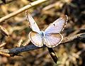 African Babul Blue Azanus jesous Male UP Pench TR by Dr. Raju Kasambe (2).jpg