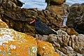 African Black Oystercatcher (Haematopus moquini) (32520796770).jpg