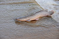 African Catfish (Clarias gariepinus) landing on the ford after its jump upstream ... (16332780150).jpg